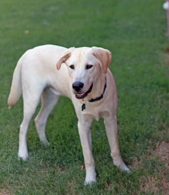 why are labradors good guide dogs