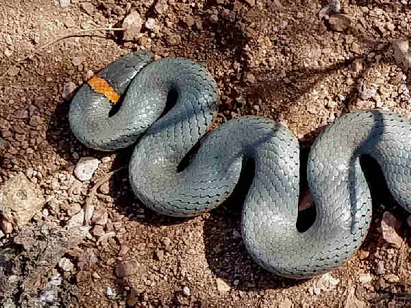 snakes of victoria guide to their identification