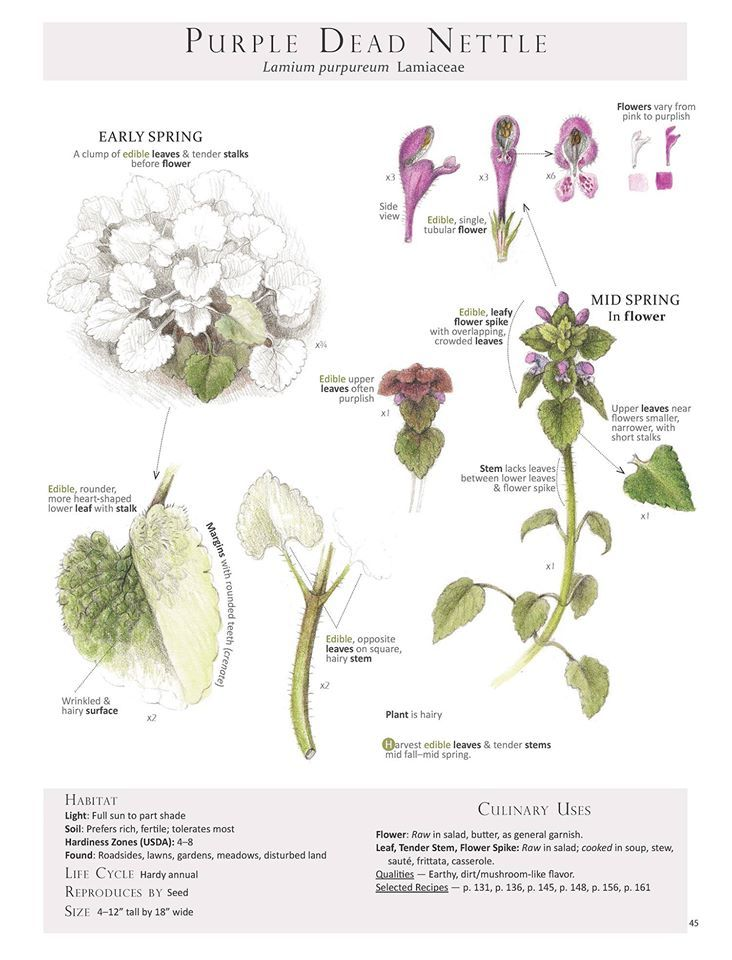 a field guide to edible wild plants